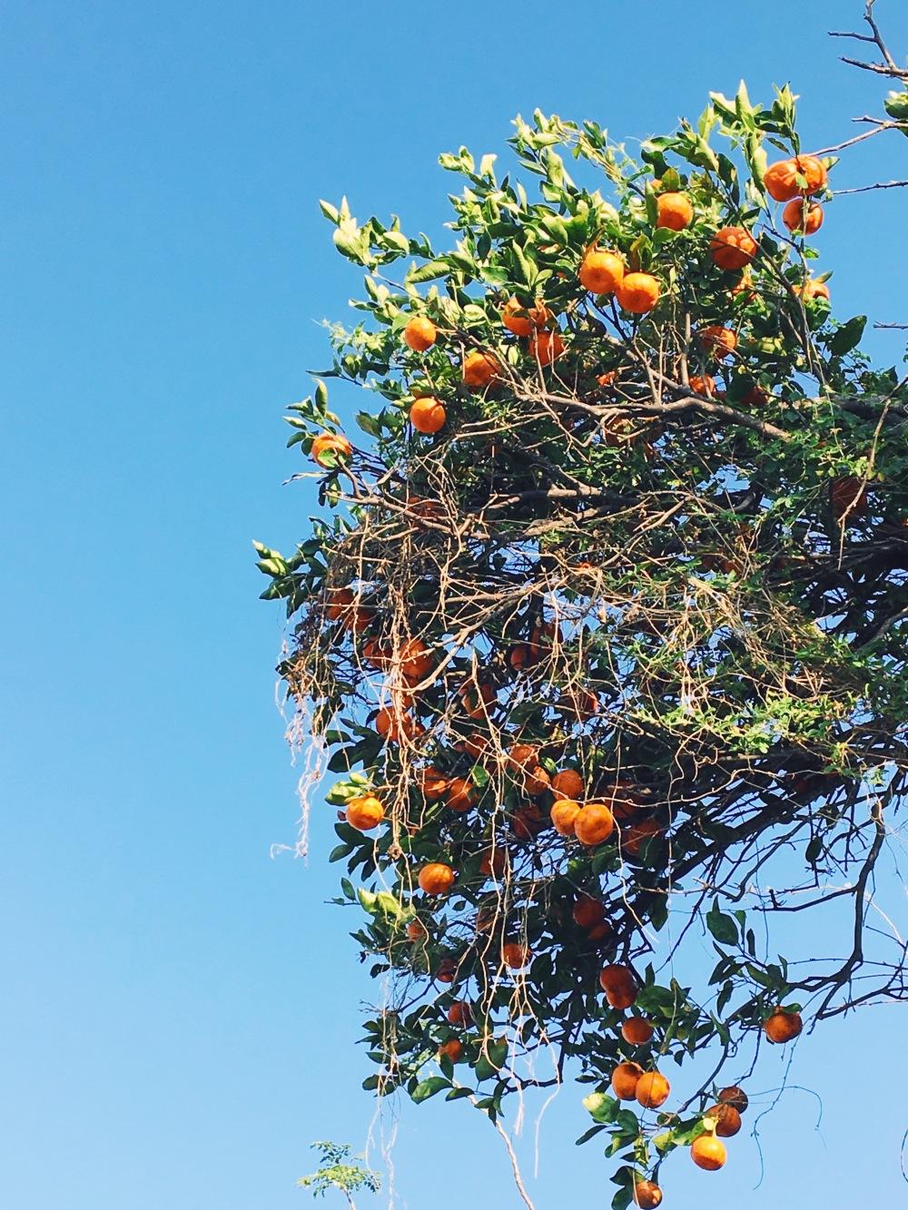 Waimea Tangerines